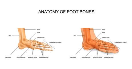 anatomy of the foot bones
