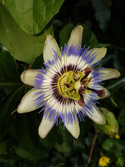 passionfruit plant named passiflora in detail