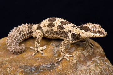 Wall Mural - Rough Thick-toed Gecko (Pachydactylus rugosus)