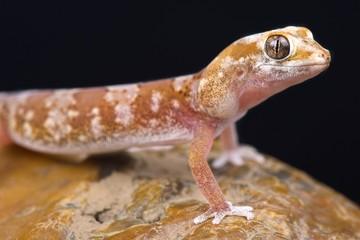 Wall Mural - Quartz Gecko (Pachydactylus latirostris)