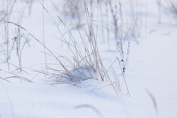 Dry grass in snow in winter as background