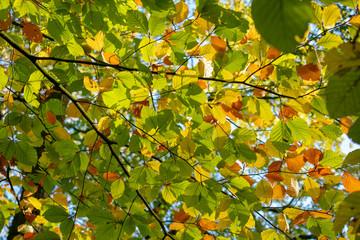 Ast mit Blättern in prächtigen Herbstfarben. Standort: Deutschland
