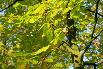 Astgabel mit Blättern im Herbst. Standort: Deutschland, Nordrhein-Westfalen