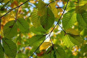 Blätter von unten im Gegenlicht. Standort: Deutschland