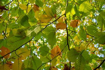 Ast mit Blättern im Herbstlichen Sonnenlicht von unten. Standort: Deutschland