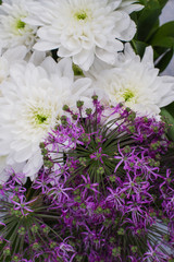 Close up white and purple flowers. Purple allium and white chrysanthemums background. Fresh colorful blooming flowers backdrop.