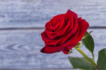 Red rose with green leaves. Scarlet rose on blurred background. Holiday greeting card.