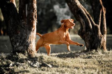Beautiful Rhodesian Ridgeback runs in the forest