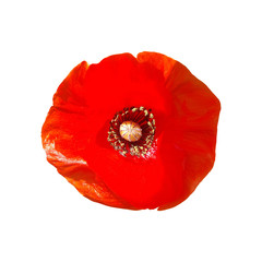 Foto op Canvas Poppy Beautiful Red Poppy flower head isolated on white background.