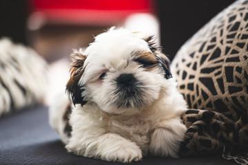 Small pure breed Shi Tzu puppy