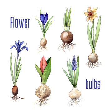 Bulbs of different flowers: Crocus, nascissus, hyacinth, tulip, iris. Watercolor and pencil hand drawn graphics. Isolated flower collection