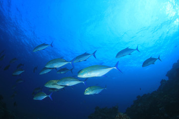 School of trevally (jack) fish