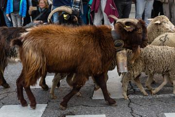 Hundreds of sheep pass through modern day Madrid celebrating the Transhumancia Festival.