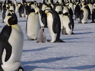 Emperor penguins in the antarctic peninsula