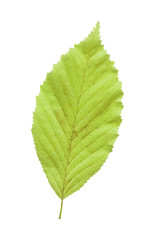 Elm green leaf isolated against a white background