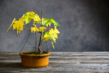 maple  bonsai with fall leaves in brown bowl on wooden board