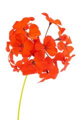 Red Pelargonium Hortorum (Geranium) Flowers Isolated on White Background