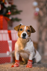 Dog Jack Russell Terrier at home under the Christmas tree in striped red and white socks.