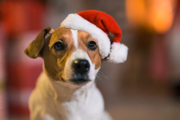 Dog Jack Russell Terrier in Santa Claus hat at home under the Christmas tree in striped red and white socks.