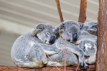 Photo sur Toile Koala Koalas sleeping, Brisbane