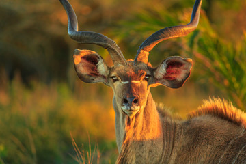 Foto op Canvas Antilope Front view of portrait of male Greater kudu, a species of antelope at sunset light. Game drive safari in iSimangaliso Wetland Park, South Africa. Tragelaphus Strepsiceros species.