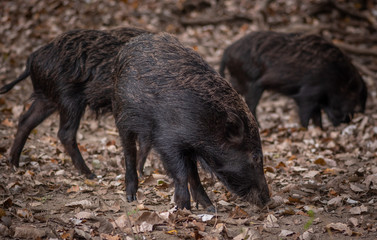 baby wild boar in the forest