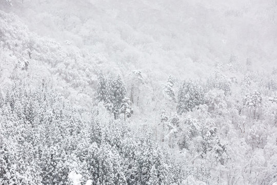 snow on trees, white background or nature texture