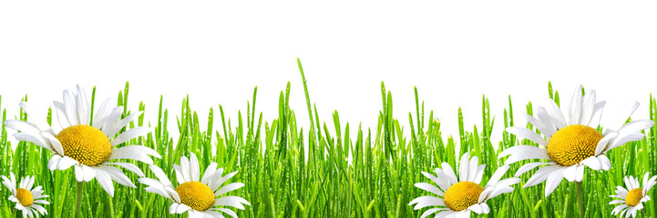 Fototapete - fresh spring green grass with drops of dew and flowers chamomiles, isolated on white background, panoramic banner