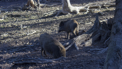The wild boars root in the ground in the woods