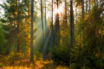Aluminium Prints Autumn Sunbeams in Natural Spruce Forest. Sunlight shining through a forest on a foggy morning.