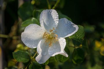 Blume  weiß mit Wasertropfen