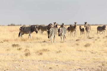 Group of zebras