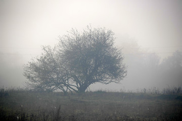 Big lonely tree in foggy morning with forest in background