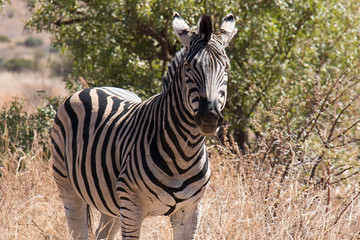 Zebra standing in a park in South Africa