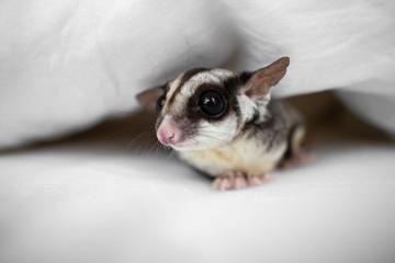 Little curiosity Sugar glider under bed sheet.