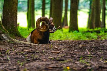 Mouflon in the green field