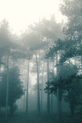 Autumn forest, firs on the fog