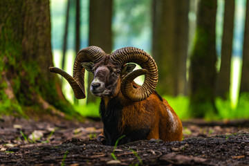 Mouflon in the green field