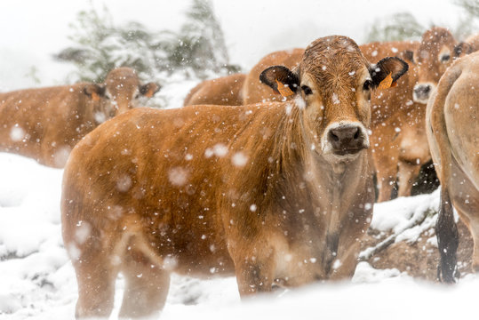 Herd of cows in the snow in blizzard somewhere in the Cevennes in France