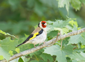 Colorful male Goldfinch bird sitting on a maple branch (latin: Spinus tristis)