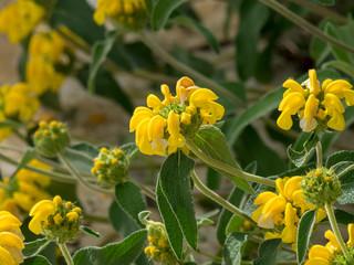 Phlomis fruticosa - Sauges de Jérusalem ou Phlomis arbustifs, un arbuste méditerranéen, couvre-sol aux fleurs de couleur jaune vif et au feuillage aromatique, duveteux de couleur vert-gris.
