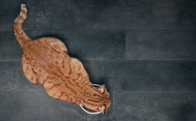 Ginger cat seen from above while eating from a white food bowl. Panoramic picture with copy space.