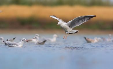 Slender-billed gull in flight. Chroicocephalus genei