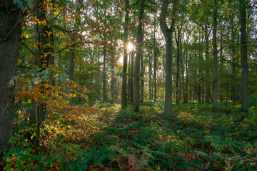 Autumn forest at morning light with lens flare. Location: Germany, North Rhine-Westphalia, Hoxfeld.