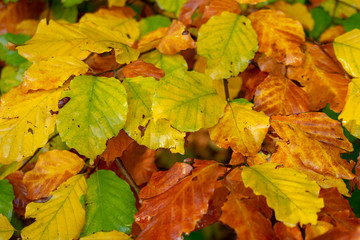 Colorful autumn leaves in closeup. Location: Germany, North Rhine-Westphalia, Hoxfeld.