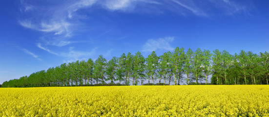 Wall Mural - Spring view, row of green trees among rape fields