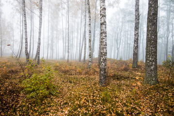 A morning fog in the forest, green and golden leaves, birch trees close-up, Latvia