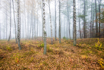 Keuken foto achterwand Bos in mist A morning fog in the forest, green and golden leaves, birch trees close-up, Latvia