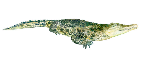 Watercolor colorful crocodile with teeth, illustration on a white background in a realistic style. Illustration. Template. Hand drawing. Close-up. Clip art.