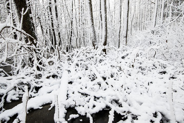 Sunny winter day in the forest, birch trees close-up, Latvia